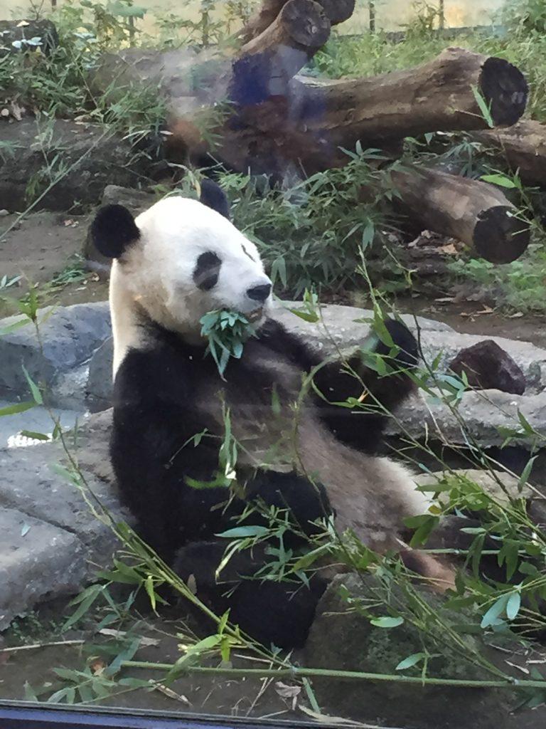 panda ueno tokyo japan